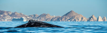Whale back and dorsal fin.  Humpback whale  in the Pacific Ocean.