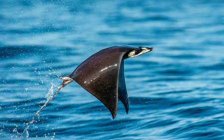 Mobula ray jumping out of the water. Mobula munkiana, known as the manta de monk, Munks devil ray, pygmy devil ray, smoothtail mobula.  Blue ocean background.