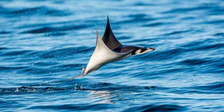 Mobula ray jumping out of the water. Mobula munkiana, known as the manta de monk, Munk's devil ray, pygmy devil ray, smoothtail mobula.  Blue ocean background. Banque d'images - 122768078