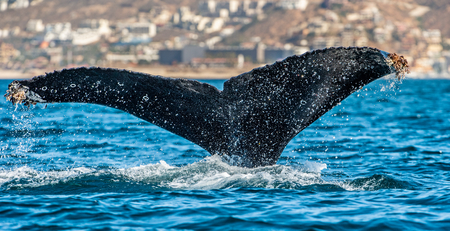 Tail fin of the mighty humpback whale (Megaptera novaeangliae). Imagens