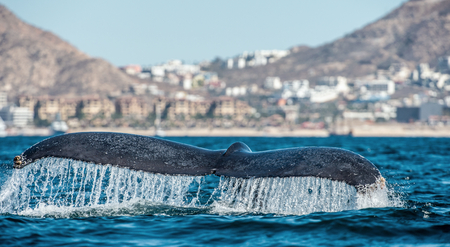 Tail fin of the mighty humpback whale (Megaptera novaeangliae). Reklamní fotografie