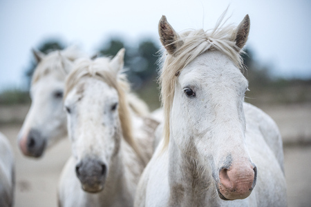 Close up Group Portrait of the White Camargue Horses.