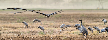 Flock of Cranes in the field. The common crane (Grus grus), also known as the Eurasian crane. Фото со стока - 120638973