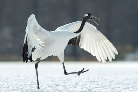 Dancing Crane. The ritual marriage dance. The red-crowned crane. Scientific name: Grus japonensis, also called the Japanese  or Manchurian crane, is a large East Asian Crane. Imagens