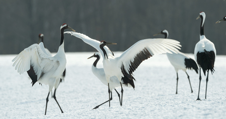 Dancing Cranes. The ritual marriage dance of cranes. The red-crowned crane. Scientific name: Grus japonensis, also called the Japanese crane or Manchurian crane, is a large East Asian Crane. Imagens