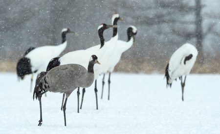The red-crowned cranes and Eurasian crane. Scientific name: Grus japonensis, also called the Japanese or Manchurian crane, is a large East Asian Crane.  Eurasian or common crane (Grus grus) Imagens