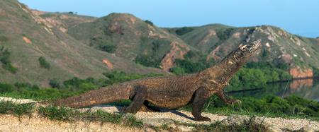 Komodo dragon,  scientific name: Varanus komodoensis. Indonesia.