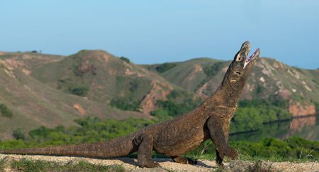 The Komodo dragon with open mouth. Biggest living lizard in the world. Scientific name: Varanus komodoensis. Natural habitat, Island Rinca. Indonesia. Фото со стока - 120641520