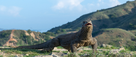 The Komodo dragon with open mouth. Biggest living lizard in the world. Scientific name: Varanus komodoensis. Natural habitat, Island Rinca. Indonesia. Фото со стока - 120641719