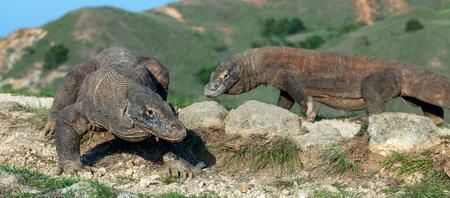 Komodo dragon,  scientific name: Varanus komodoensis. Indonesia. Фото со стока - 120641737