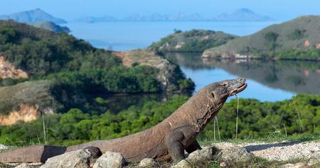 Komodo dragon, scientific name: Varanus komodoensis. Indonesia. Stock Photo