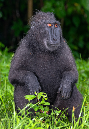 The Celebes crested macaque . Green natural background. Crested black macaque, Sulawesi crested macaque, sulawesi macaque or the black ape.  Natural habitat. Sulawesi. Indonesia. Фото со стока - 120643678