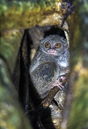 The spectral tarsier on the tree. Scientific name: Tarsius spectrum, also called Tarsius tarsier. Natural habitat. Sulawesi Island. indonesia