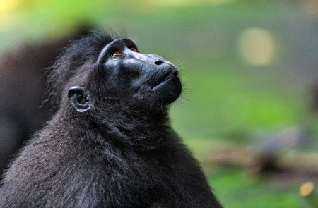 The Celebes crested macaque. Close up portrait, side view. Crested black macaque, Sulawesi crested macaque, celebes macaque or the black ape.  Natural habitat. Sulawesi. Indonesia.