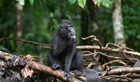 The Celebes crested macaque eating. Green natural background. Crested black macaque, Sulawesi crested macaque, or the black ape.  Natural habitat. Sulawesi. Indonesia. Фото со стока - 120643711