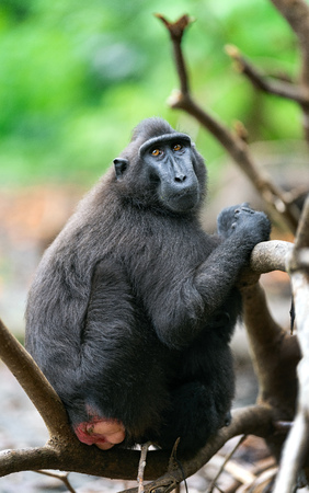 The Celebes crested macaque .  Crested black macaque, Sulawesi crested macaque, or the black ape.  Natural habitat. Sulawesi. Indonesia.