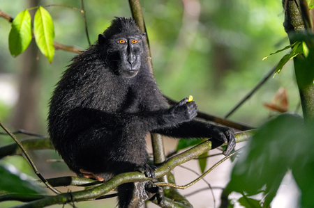 The Celebes crested macaque on the branch of the tree. Close up portrait. Crested black macaque, Sulawesi crested macaque, sulawesi macaque or the black ape.  Natural habitat. Sulawesi. Indonesia. Фото со стока - 120643728