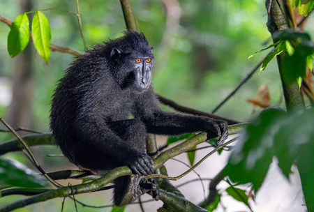 The Celebes crested macaque on the branch of the tree. Close up portrait. Crested black macaque, Sulawesi crested macaque, sulawesi macaque or the black ape.  Natural habitat. Sulawesi. Indonesia.