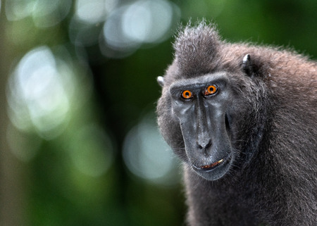 The Celebes crested macaque. Front view, Close up portrait. Green natural background. Crested black macaque, Sulawesi crested macaque, or the black ape.  Natural habitat. Sulawesi. Indonesia.