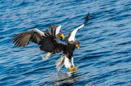 Adult Steller's sea eagles fishing. Scientific name: Haliaeetus pelagicus. Blue ocean background. Natural Habitat.