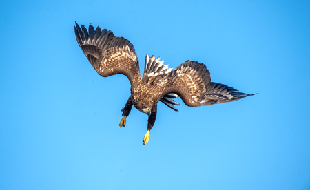 Juvenile White-tailed eagle in flight dive. Blue sky background.  Scientific name: Haliaeetus albicilla, also known as the ern, erne, gray eagle, Eurasian sea eagle and white-tailed sea-eagle.