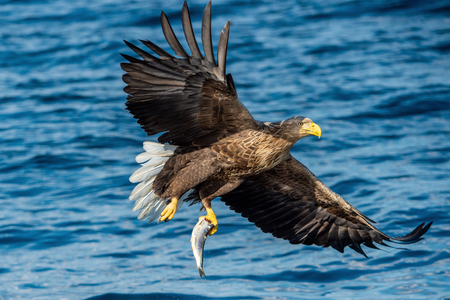 Adult White-tailed eagle fishing. Blue Ocean Background. Scientific name: Haliaeetus albicilla, also known as the ern, erne, gray eagle, Eurasian sea eagle and white-tailed sea-eagle. 스톡 콘텐츠