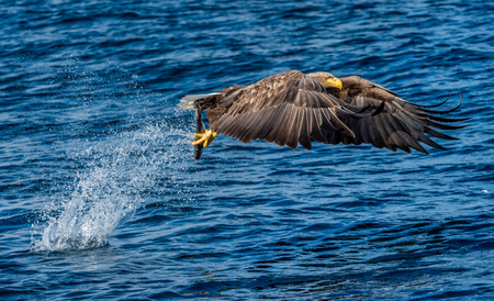 White-tailed eagle fishing. Blue Ocean Background. Scientific name: Haliaeetus albicilla, also known as the ern, erne, gray eagle, Eurasian sea eagle and white-tailed sea-eagle.