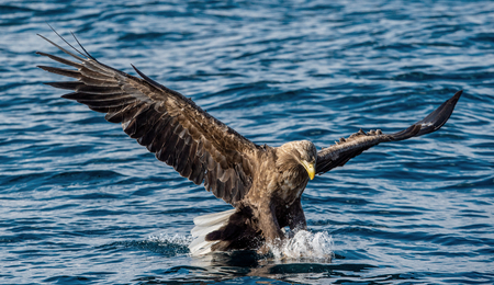 Adult White-tailed eagles fishing. Front view. Blue Ocean Background. Scientific name: Haliaeetus albicilla, also known as the ern, erne, gray eagle, Eurasian sea eagle and white-tailed sea-eagle.