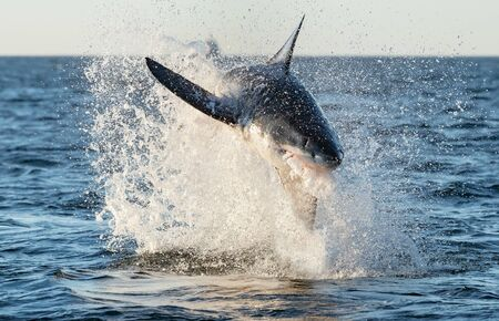 Breaching Great White Shark. Front view, Scientific name: Carcharodon carcharias. South Africa