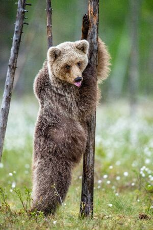 Brown bear cub stands on its hind legs by a tree in  summer forest and  shows tongue. Scientific name: Ursus Arctos ( Brown Bear). Green natural background. Natural habitat, summer season.