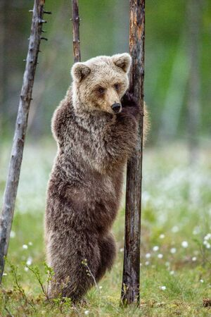 Brown bear cub stands on its hind legs by a tree in  summer forest. Scientific name: Ursus Arctos ( Brown Bear). Green natural background. Natural habitat, summer season.