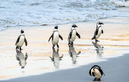 African penguins walk out of the ocean to the sandy beach. African penguin also known as the jackass penguin, black-footed penguin. Scientific name: Spheniscus demersus. Boulders colony. South Africa Stockfoto - 130651137