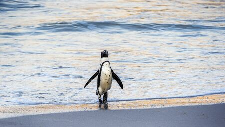 African penguin walk out of the ocean to the sandy beach. African penguin also known as the jackass penguin, black-footed penguin. Scientific name: Spheniscus demersus. Boulders colony. South Africa