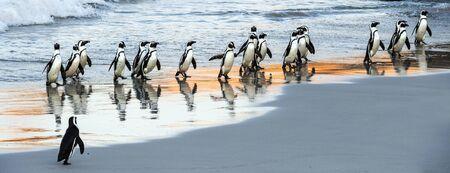 Afrikanische Pinguine laufen aus dem Meer zum Sandstrand. Afrikanischer Pinguin, auch bekannt als Eselspinguin, Schwarzfußpinguin. Wissenschaftlicher Name: Spheniscus demersus. Felsbrocken Kolonie. Südafrika
