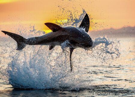 saltando Gran Tiburón Blanco. Cielo rojo del amanecer. Gran tiburón blanco rompiendo en ataque. Nombre científico: Carcharodon carcharias. Sudáfrica.