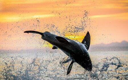 jumping Great White Shark. Red sky of sunrise. Great White Shark breaching in attack. Scientific name: Carcharodon carcharias. South Africa. Stock fotó