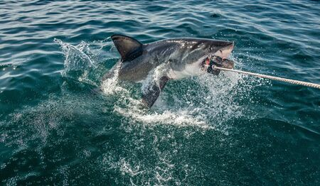 Great White Shark jumps out of the water and  grabs bait. Scientific name: Carcharodon carcharias. South Africa Stock fotó