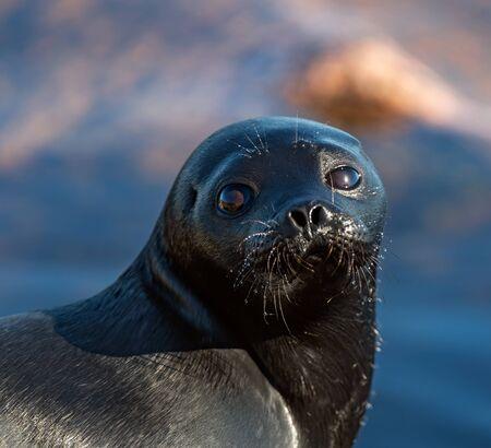 The Ladoga ringed seal. Close up portrait. Scientific name: Pusa hispida ladogensis. The Ladoga seal in a natural habitat. Ladoga Lake. Russia