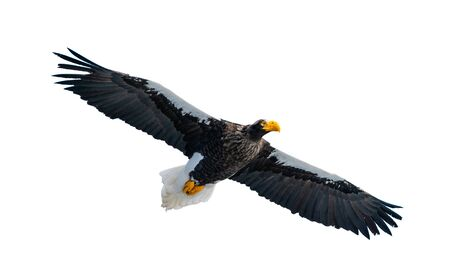 Adult Steller's sea eagle in flight. Front view.  Scientific name: Haliaeetus pelagicus. Isolated on white background.