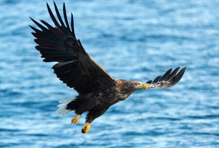 Adult White-tailed eagle fishing. Blue Ocean Background. Scientific name: Haliaeetus albicilla, also known as the ern, erne, gray eagle, Eurasian sea eagle and white-tailed sea-eagle. Natural habitat