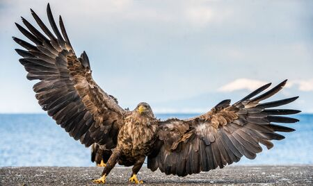 White-tailed sea eagle spreading wings. Scientific name: Haliaeetus albicilla, also known as the ern, erne, gray eagle, Eurasian sea eagle and white-tailed sea-eagle.