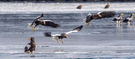 Steller`s sea eagles.   Scientific name: Haliaeetus pelagicus. Natural Habitat. Winter season. 版權商用圖片