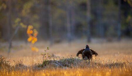 Lekking black grouse (Tetrao tetrix). Sunrise Backlight. Autumn, Early morning . Natural habitat.