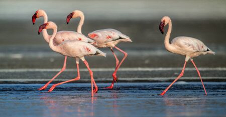 Walking Lesser flamingos Scientific name: Phoenicoparrus minor walk on the water of Lake Natron. Tanzania. Africa. Foto de archivo