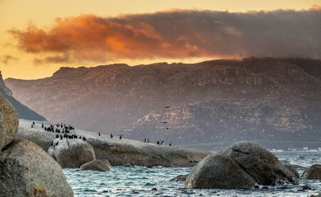 African penguins and cormorants on coast at sunset twilight. African penguin ( Spheniscus demersus) also known as the jackass penguin and black-footed penguin. Boulders colony. Cape Town. South Africa