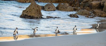 African penguins walk out of the ocean to the sandy beach. African penguin also known as the jackass penguin, black-footed penguin. Scientific name: Spheniscus demersus. South Africa