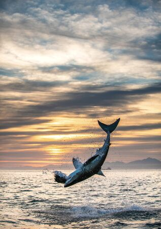 Jumping Great White Shark. Sunrise sky backround.   Scientific name: Carcharodon carcharias. South Africa