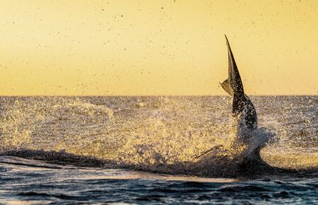 Tail Fin of Great White Shark. The phase of the jump of shark. Red sky of sunrise. Breaching in attack. Scientific name: Carcharodon carcharias. South Africa.