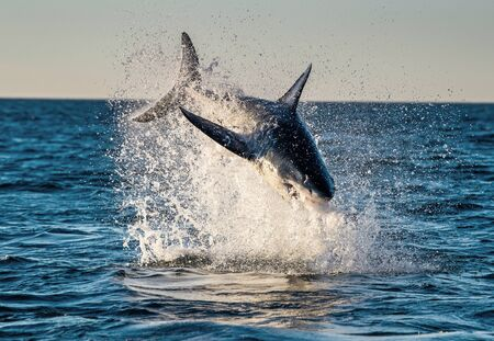 Jumping Great White Shark. Breaching in attack. Scientific name: Carcharodon carcharias. South Africa.