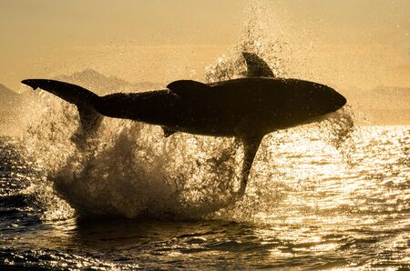 Silhouette of Great White Shark in jump. Red sky of sunrise. Breaching in attack. Scientific name: Carcharodon carcharias. South Africa.